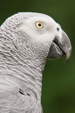 African Grey Parrot (Psittacus erithacus) Stock Photo