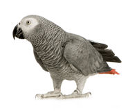 African Grey Parrot - Psittacus erithacus. In front of a white background Royalty Free Stock Photo