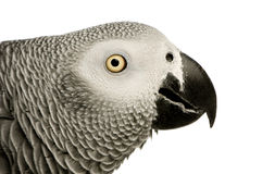 African Grey Parrot - Psittacus erithacus. In front of a white background Stock Images