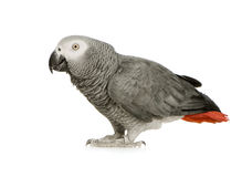 African Grey Parrot - Psittacus erithacus Stock Image