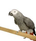 African Grey Parrot - Psittacus erithacus Stock Photo