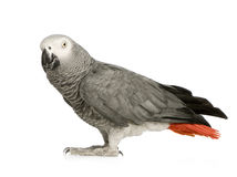 African Grey Parrot - Psittacus erithacus. In front of a white background Stock Image