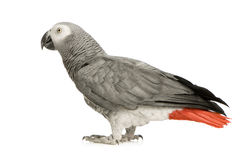 African Grey Parrot - Psittacus erithacus. In front of a white background Royalty Free Stock Photography