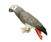 African Grey Parrot - Psittacus erithacus. In front of a white background Royalty Free Stock Images