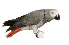 African Grey Parrot - Psittacus erithacus Royalty Free Stock Photos