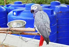 The African Grey Parrot (Psittacus erithacus) Stock Image