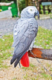 The African Grey Parrot (Psittacus erithacus) Stock Photos
