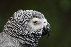 African grey parrot (Psittacus erithacus). Close up of an African grey parrot (Psittacus erithacus Royalty Free Stock Photography