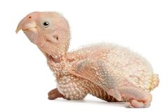 African Grey Parrot, Psittacus erithacus, 17 days old. In front of white background stock photos
