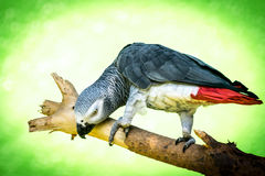African grey parrot (Psittacus-erithacus) Royalty Free Stock Photo