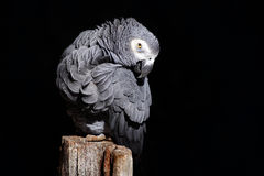 African Grey Parrot, Psittacus erithacus, sitting on the branch, Gabon, Africa. Wildlife scene from nature. Parrot in the green tr Stock Photos