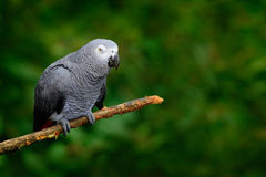 African Grey Parrot, Psittacus erithacus, sitting on the branch, Kongo, Africa. Wildlife scene from nature. Parrot in the green tr Royalty Free Stock Photography