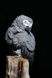 African Grey Parrot, Psittacus erithacus, sitting on the branch. Parrot from Gabon, Africa. Wildlife scene from nature. Parrot in Stock Photo