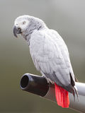 African Grey Parrot (Psittacus erithacus) Stock Images