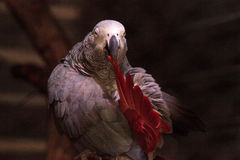African grey parrot Psittacus erithacus Stock Photography