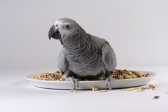 African Grey Parrot with Seed. An African Grey Parrot looking straight at the camera sat on a plate of parrot seed against a white background. Latin name Royalty Free Stock Photo