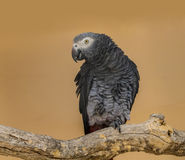 African grey parrot. Sits on a branch and lifts the leg Stock Images