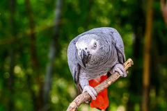 African grey parrot. African grey parrot  sitting on tree branch Stock Photos