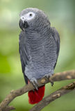African grey parrot sitting on tree branch, africa Stock Photography