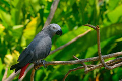 African grey parrot Stock Image