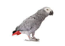 African Grey Parrot Standing to Side Royalty Free Stock Photos