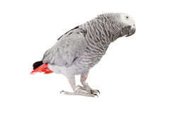 African Grey Parrot tilting head. African Grey Parrot standing to the side and tilting it's head Royalty Free Stock Photo