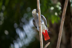 African Grey Parrot on a tree Stock Images