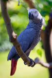 African Grey Parrot on tree Royalty Free Stock Photography