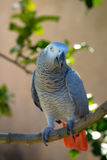 African Grey Parrot on tree Stock Photo