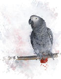 African Grey Parrot Watercolor Royalty Free Stock Photo