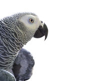 African Grey Parrot on white Royalty Free Stock Photography