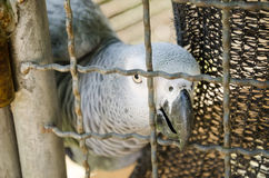 African Grey Parrots in bird cage Royalty Free Stock Image
