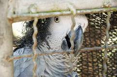 African Grey Parrots in bird cage Stock Image