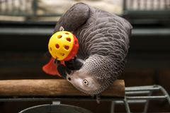 African Grey Playing. Congo African Grey Parrot Playing with his Toy Ball Royalty Free Stock Photo