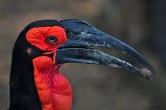 African ground hornbill bucorvus leadbeateri Royalty Free Stock Photography