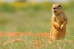 African ground squirrel. Sitting up in grass Royalty Free Stock Images