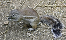 African ground squirrel 3 Stock Images