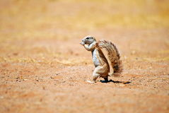 African ground squirrel. An african squireel walking like a human Stock Image