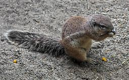 African ground squirrel 4 stock photo