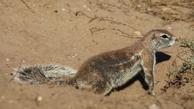 African ground squirrel Royalty Free Stock Image