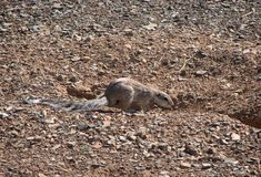 Ground squirrel digging hole stock photo image 60302407 for Digging ground dream meaning