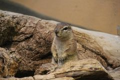 African Ground Squirrel. At Frankfurt Zoo sits up for a look around Stock Photo