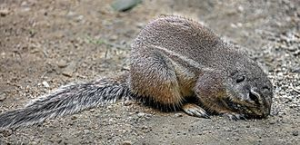African ground squirrel 2 Stock Photography