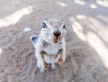 African ground squirrel Royalty Free Stock Photo