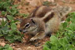 African Ground Squirrel. Native to the African mainland, the Barbary ground squirrel Atlantoxerus getulus may also be found on the nearby Canary Islands, as the royalty free stock photography
