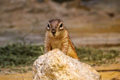 African Ground Squirrel a rock. African Ground Squirrel sitting up behind a rock Royalty Free Stock Photography