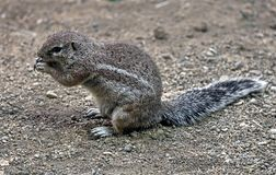 African ground squirrel royalty free stock photography