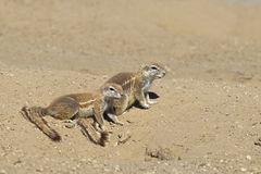 African Ground Squirrel Stock Photography