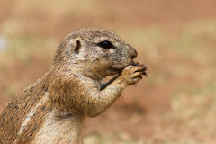 African ground squirrel (Marmotini) closeup portrait eating a nu Royalty Free Stock Photography