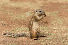 African ground squirrel (Marmotini) portrait eating a nut Stock Image